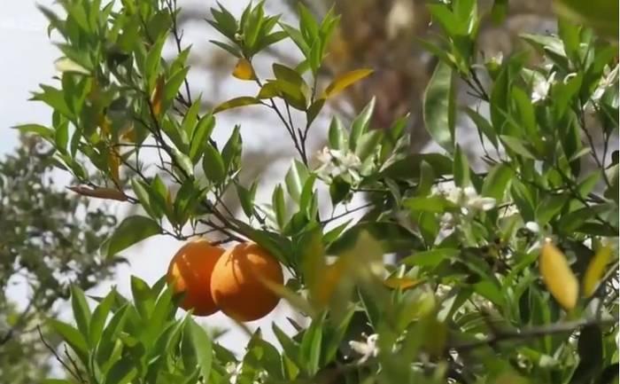 Oranger du Maroc
