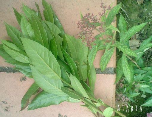 feuilles de laurier noble
