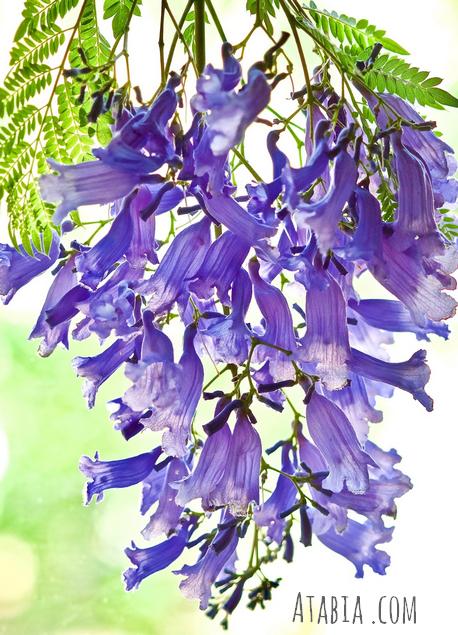 Fleurs et graines de jacaranda, vente en sachet