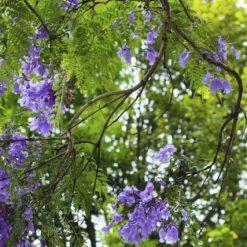 jacaranda à fleurs mauves