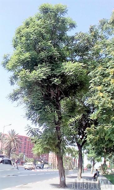 Jacaranda Mimosifolia du Maroc à Marrakech