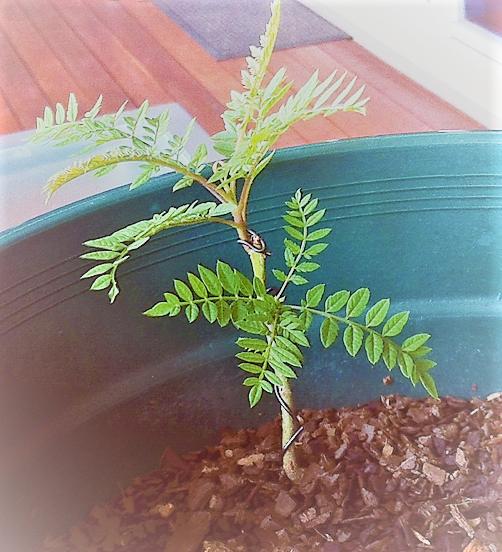 Pousse de jacaranda obtenue par semis de graines