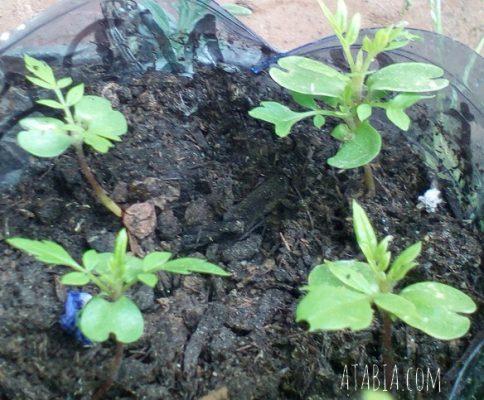 Semis de Graines de Jacaranda Mimosifolia Semi Seeds Tree