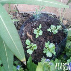 Semis de jacaranda