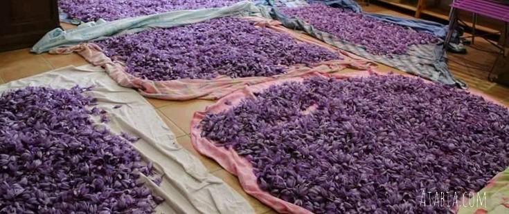 sechage de fleurs de crocus atabia