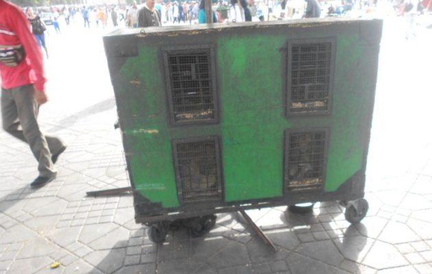 singes de la Place Jema El Fna