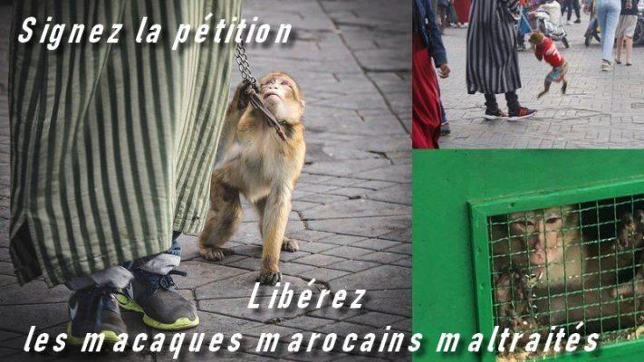 signez la petiton pour liberer les singes de Marrakech