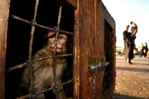 Singes de Jemaa El Fna au maroc en cages