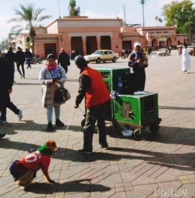 Singes de la Place jemaa El Fna Marrakech