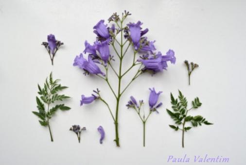 Details de la fleur de Jacaranda Mimosifolia