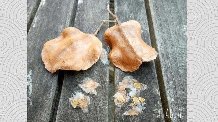 Gousses et graines de jacaranda pour semis
