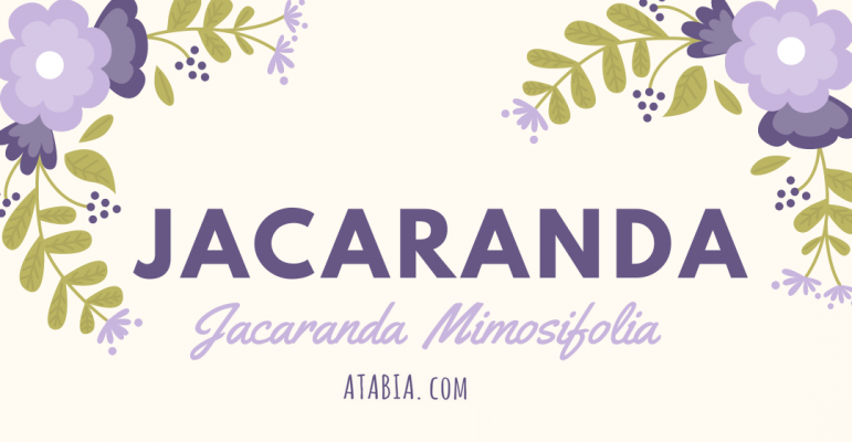 Jacaranda Mimosifolia Graines a semer