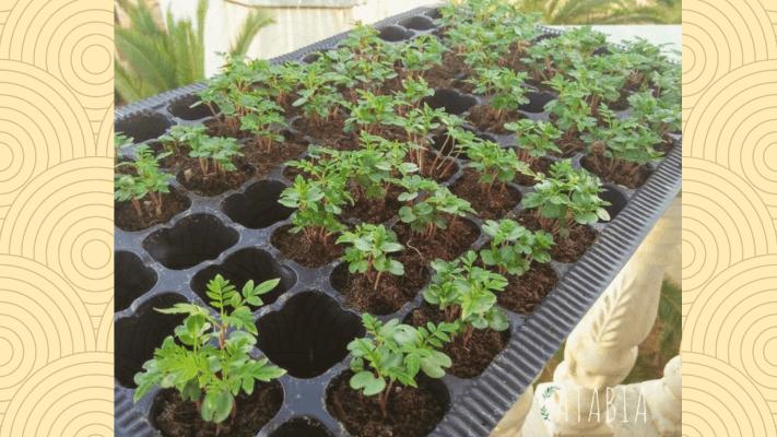 Plants de culture de semis de jacaranda mimosifolia
