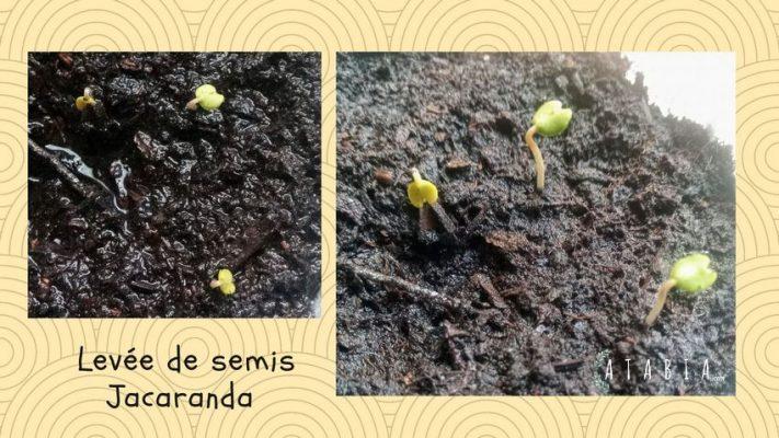 Semis de jacaranda juste levé en terre