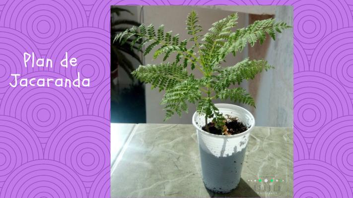 Plan de semis de jacaranda mimosifolia