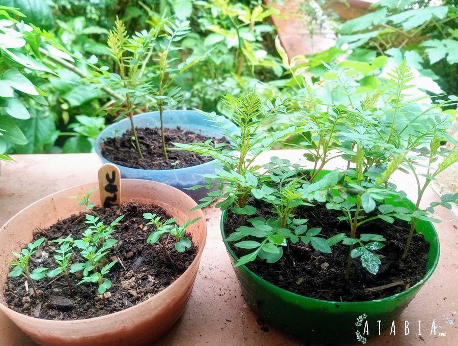 Semis de javaranda,: jeunes petits plants de semis