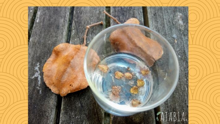 Verre contenant graines de jacaranda a tremper dans l'eau une nuit avant de les semer