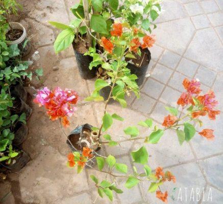 Bougainvilliers Jardiniers Marrakech