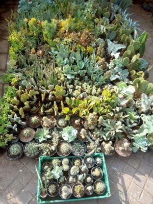 Cactus du Maroc sur la place Jelaa el fna au maroc