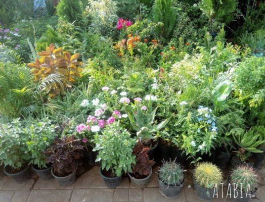 Vegetaux des jardiniers de Jemaa El Fna Marrakech
