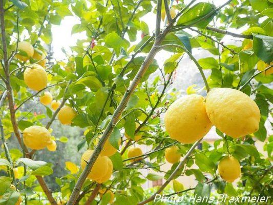 Citronnier avec citrons