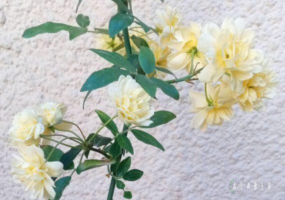 grappe de fleurs jaunes groupées du rosier Rosier Banks – Liane grimpant