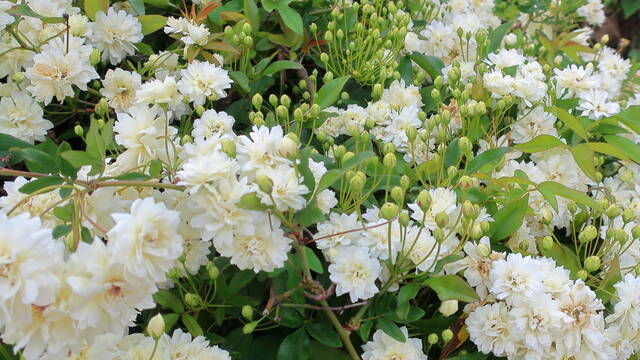 Rosier liane Banksiae Alba Plena -ou Rosier Banks Blanc