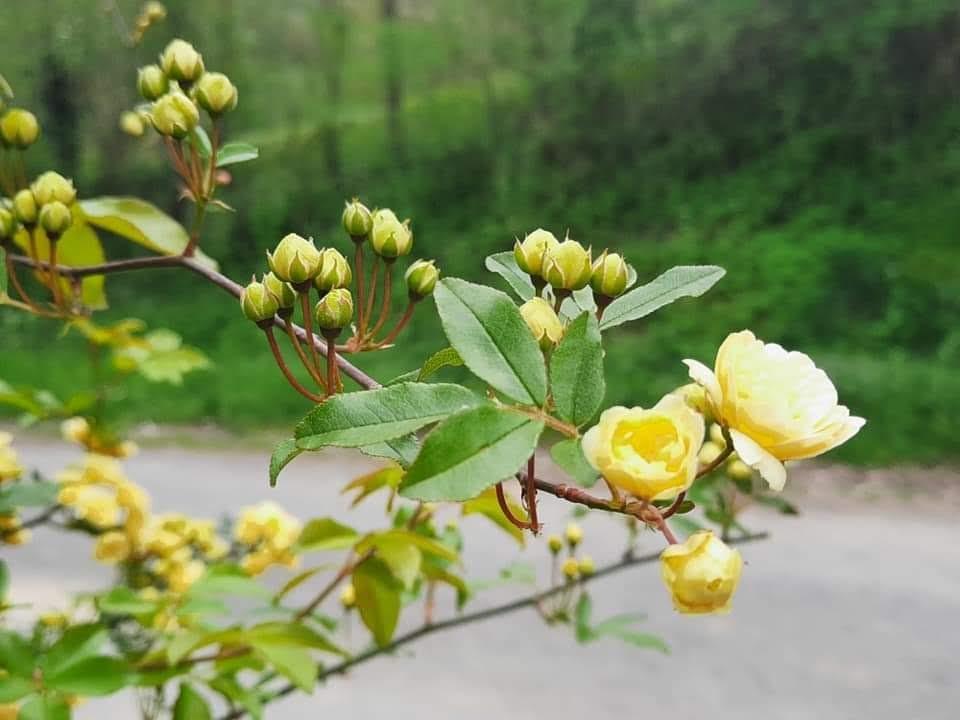 rosier liane jaune Banks Lutea – Rosa banksiae