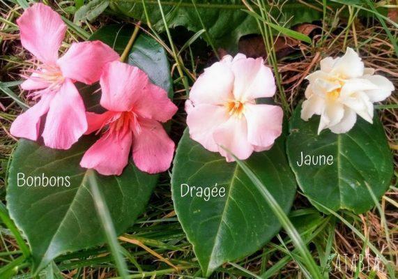 Différentes couleurs de laurier rose