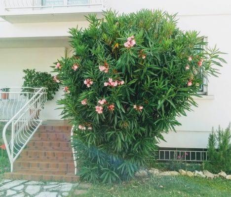 laurier rose en pleine terre à l'entrée d'une maison près d'un escalier