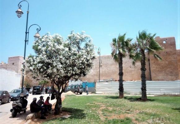laurier rose blanc adulte à la ville Rabat au Maroc