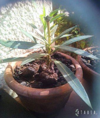 Une bouture de laurier rose ayant fait des racines rempotée dans un petit pot