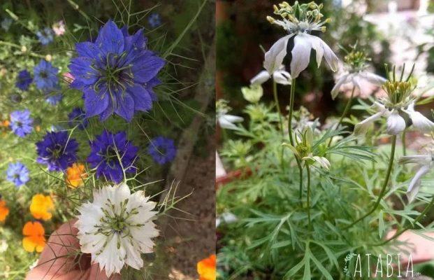Comparaison entre fleurs de nigelle de damas et fleurs nigelle sativa cultivée
