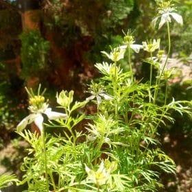 Fleurs de Nigelle Sativa