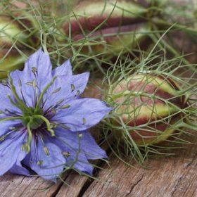 fleurs et capsule de fleurs de nigelle