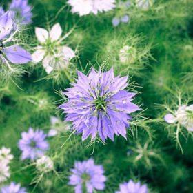 fleurs mauves de nigelle de damas