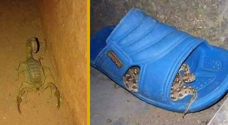 Scorpions du Maroc