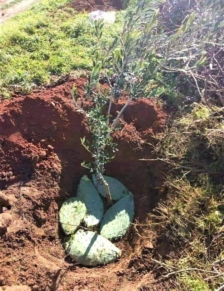Plantation d'un olivier avec feuille de figue de Barbarie